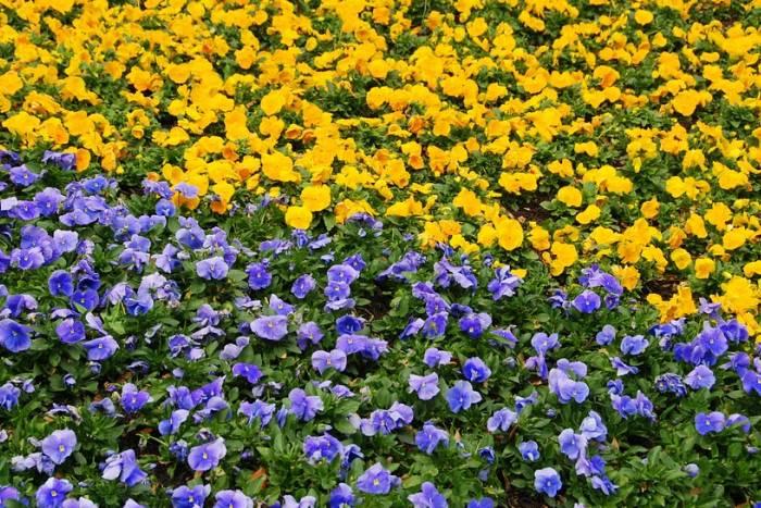 cvijece-macuhice-gredice-bp