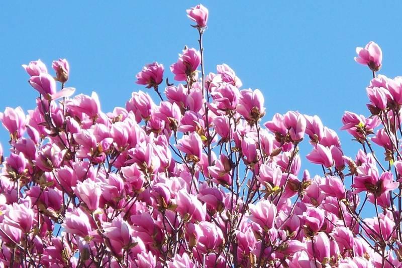 magnolija-800-bp