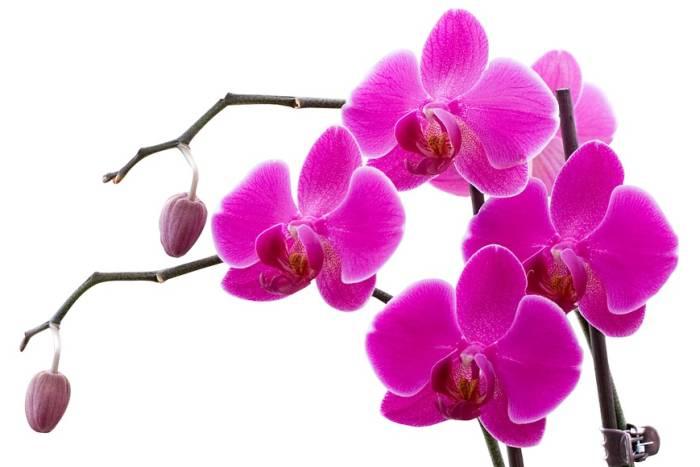 orhideja-bp-700